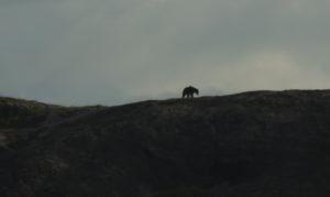 silouette de l'ours du parc de yala