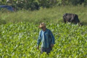Paysan dans les plantations de tabac